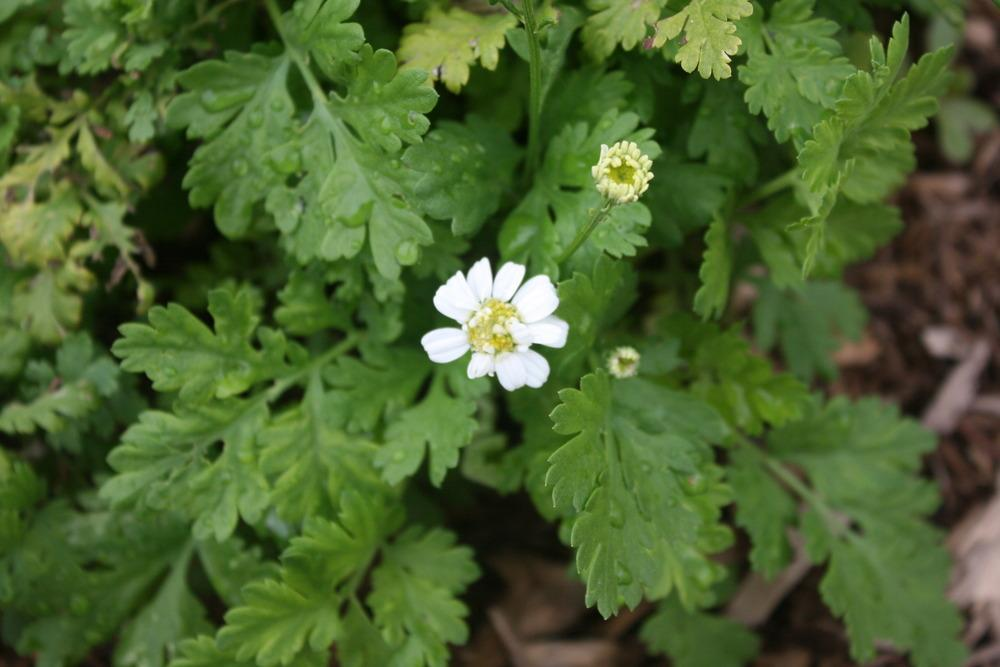 Photo of Feverfew (Tanacetum parthenium) uploaded by Daylilybaby