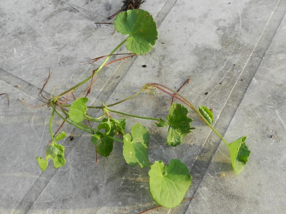 Photo of Centella (Centella asiatica) uploaded by Gleni