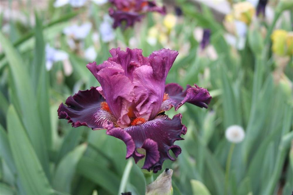 Photo of Tall Bearded Iris (Iris 'Fashion Diva') uploaded by KentPfeiffer