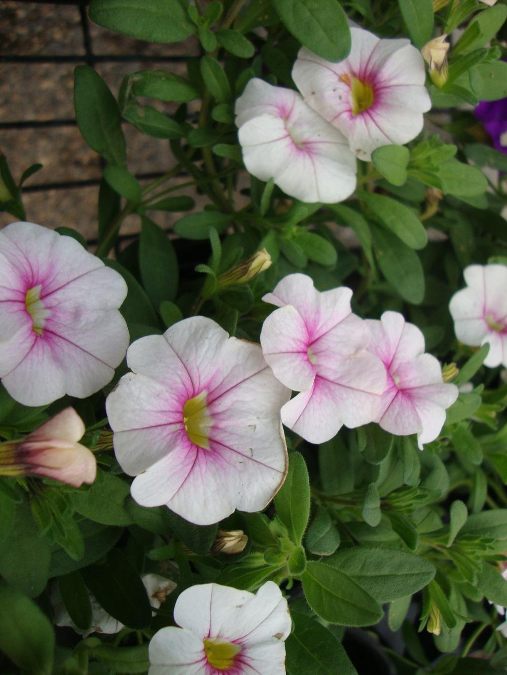 Photo of Million Bells (Calibrachoa Noa™ Almond Blossom) uploaded by Paul2032