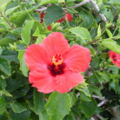 Location: Kapaa (Kauai), Hawaii at Pono Kai Resort Date: 2014-01-16Hibiscus flower and buds