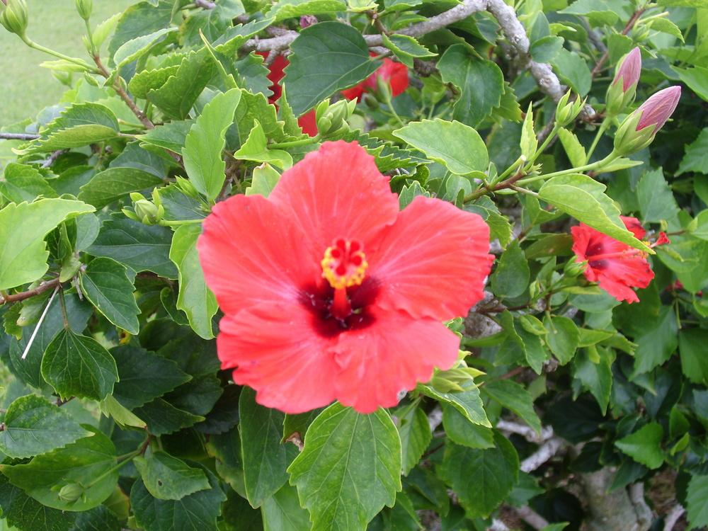 Photo of Hibiscus uploaded by Shawwannda