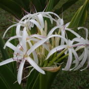 Location: Pono Kai Resort, Kapaa (Kauai), Hawaii Date: 2014-01-16Queen Emma Lily - White