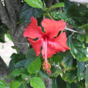 Location: Kapaa (Kauai), Hawaii at Pono Kai Resort Date: 2014-01-16Beautiful Hibiscus