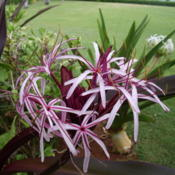 Location: Pono Kai Resort, Kapaa (Kauai), Hawaii Date: 2014-01-16Queen Emma Lily - Crinum Amabile