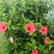 Location: Kapaa (Kauai), Hawaii at Pono Kai Resort Date: 2014-01-16Hibiscus