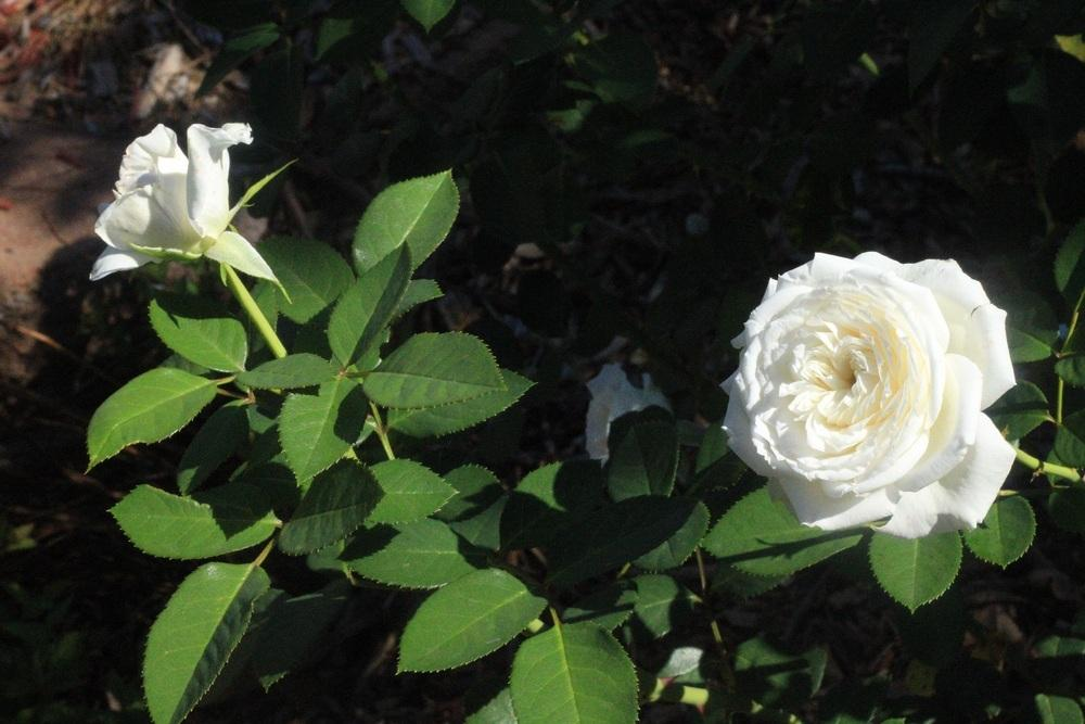 Photo of Rose (Rosa 'Pure Perfume') uploaded by Skiekitty