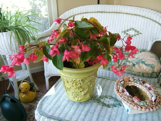 Photo of Dragon Wing Begonia (Begonia Dragon Wing® Pink) uploaded by pirl