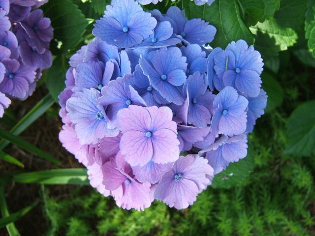 Photo of Bigleaf Hydrangea (Hydrangea macrophylla Everlasting® Amethyst) uploaded by pirl