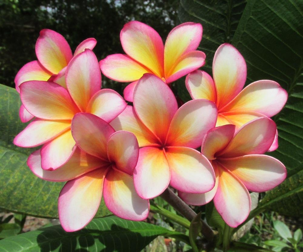 Plumerias Plant Care And Collection Of Varieties Garden