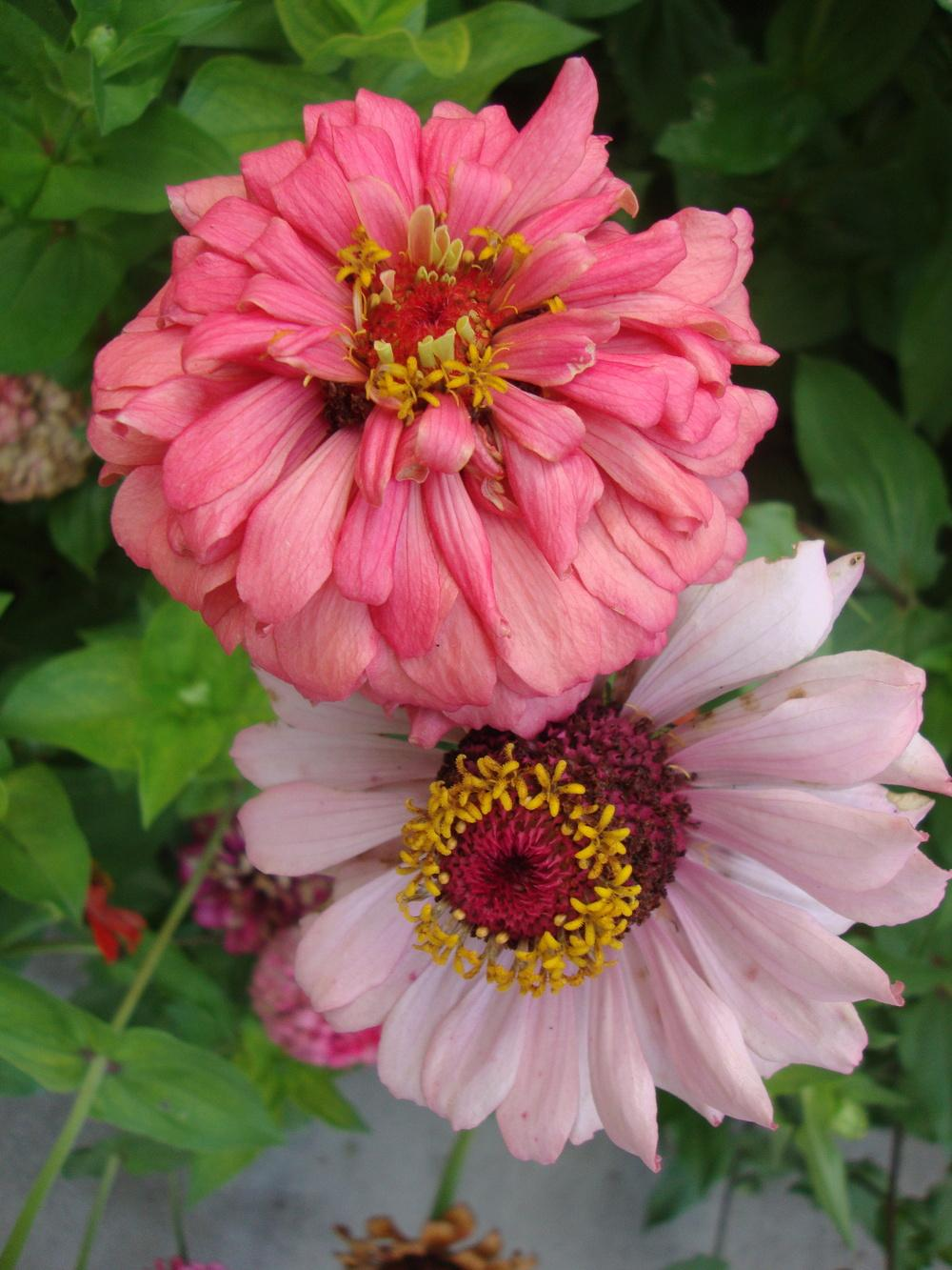 Photo of Zinnia uploaded by Paul2032