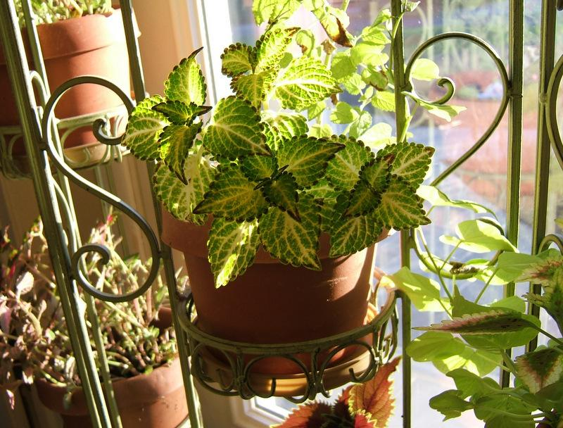 Photo of Coleus (Plectranthus 'Bonnie Gold') uploaded by pirl