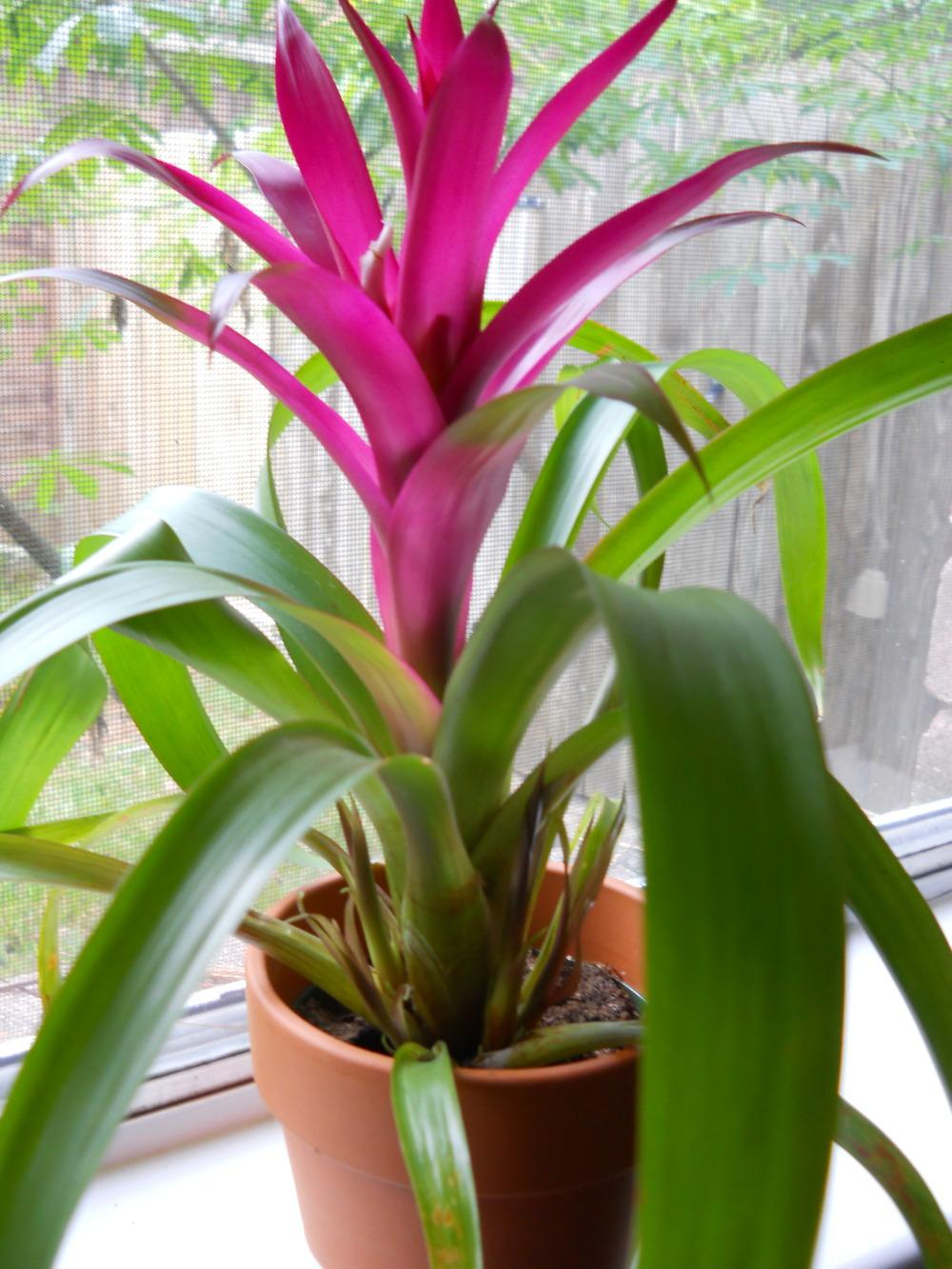 Bromeliads How To Keep The Color Going: A How-To Guide For Propagating Bromeliads: Bromeliad