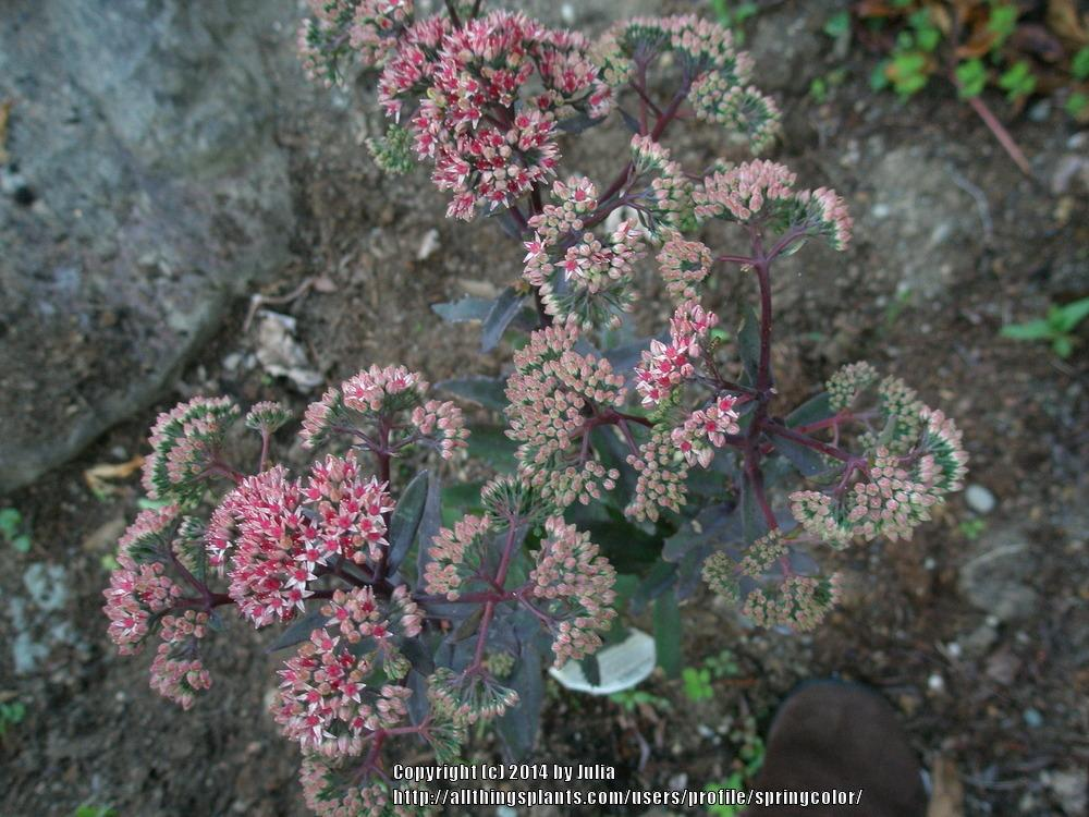Photo of Stonecrop (Hylotelephium Garnet Brocade™) uploaded by springcolor