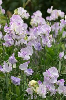 Photo of Sweet Pea (Lathyrus odoratus 'Marion') uploaded by Calif_Sue