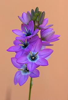 Photo of Corn Lily (Ixia monadelpha) uploaded by Calif_Sue