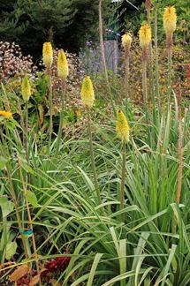 Photo of Yellow Red Hot Poker (Kniphofia citrina) uploaded by Calif_Sue