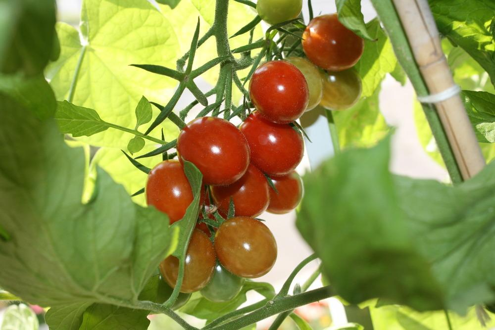 Photo of Tomato (Solanum lycopersicum 'Elfin') uploaded by Daylilybaby