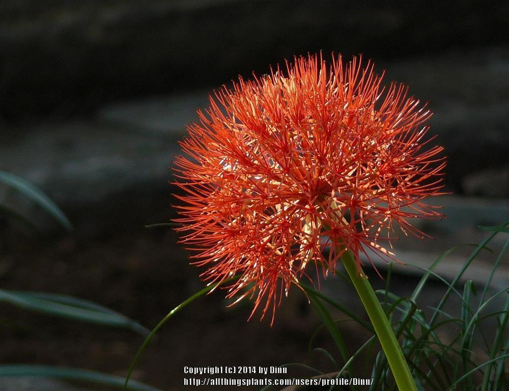 Photo of African Blood Lily (Scadoxus multiflorus) uploaded by Dinu