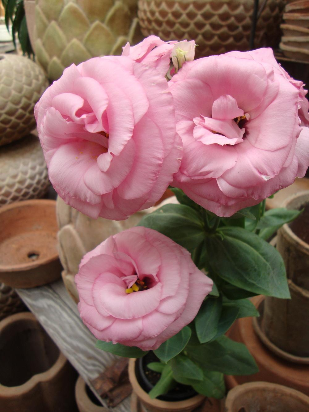 Photo of Prairie Gentian (Eustoma exaltatum subsp. russellianum Mariachi® Misty Pink) uploaded by Paul2032