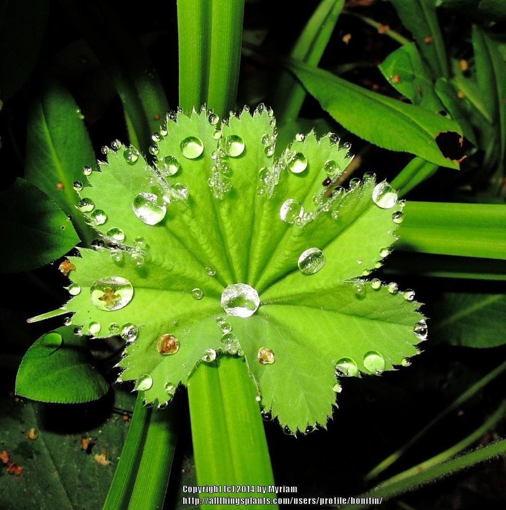 Photo of Lady's Mantle (Alchemilla mollis) uploaded by bonitin
