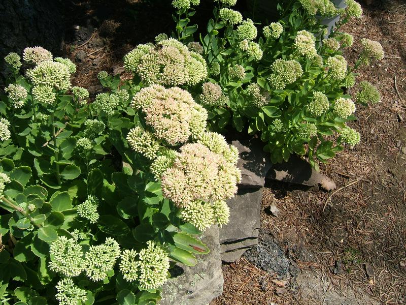 Photo of Sedum (Hylotelephium spectabile 'Herbstfreude') uploaded by pirl