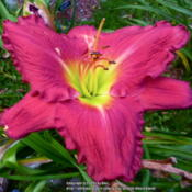 Location: My Garden- VermontDate: 2014-08-27SDLG 'LINDA SIERRA'  X  'LAVENDER REFLECTIONS - Great Breeder