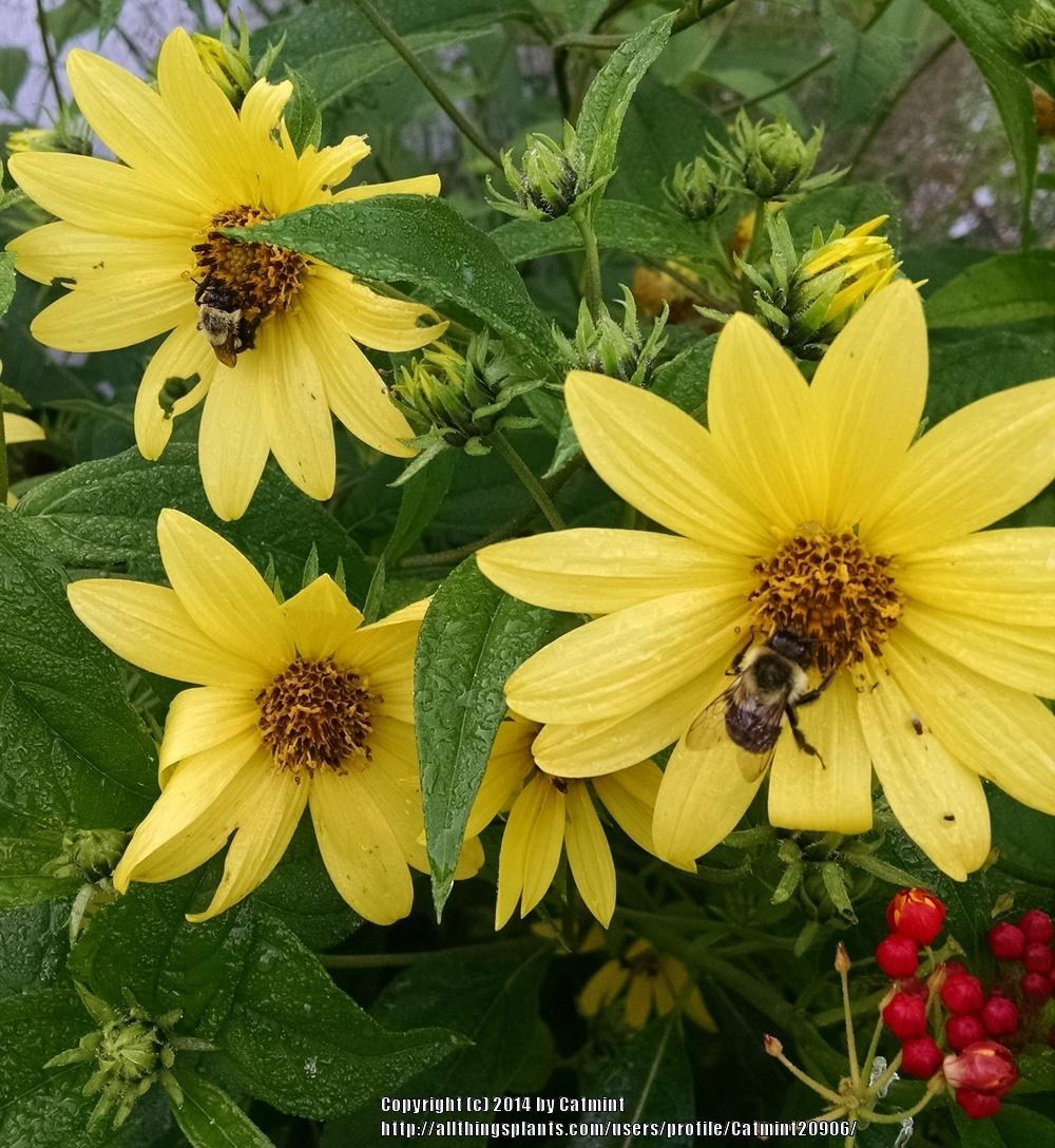 Photo of Small Wood Sunflower (Helianthus microcephalus 'Lemon Queen') uploaded by Catmint20906