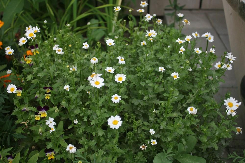 Photo of Creeping Daisy (Mauranthemum paludosum) uploaded by Daylilybaby