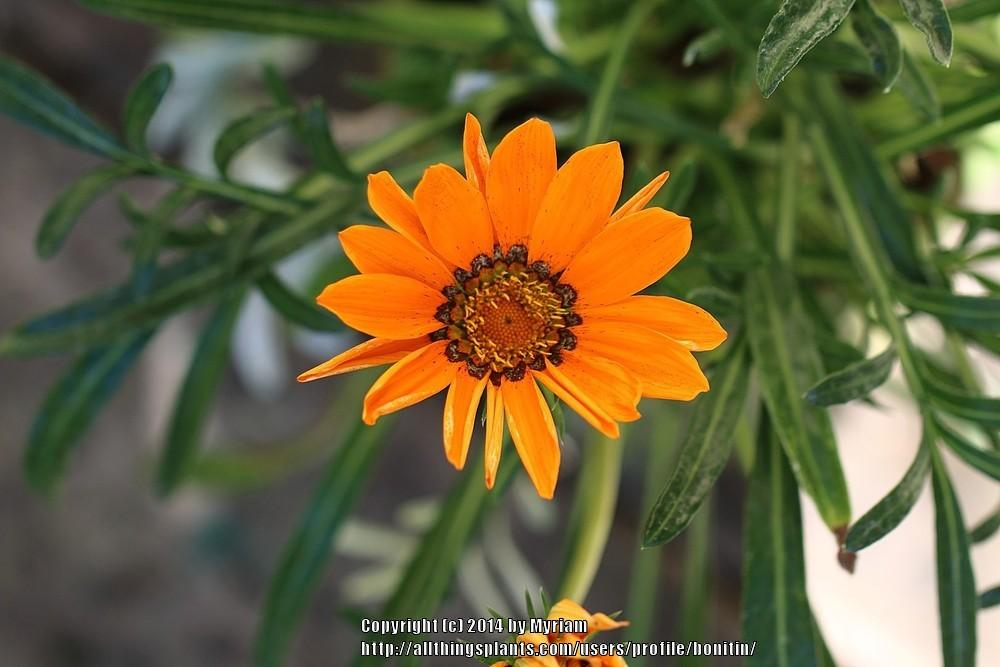 Photo of Gazania (Gazania rigens 'Daybreak Mix') uploaded by bonitin