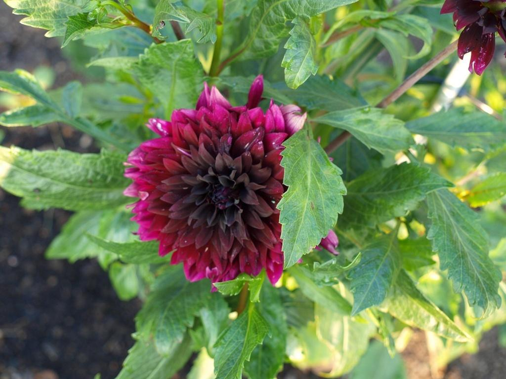 Photo of Dahlia 'Thomas A. Edison' uploaded by frankrichards16