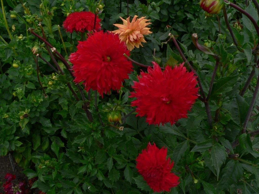 Photo of Dahlia 'Skywalker' uploaded by frankrichards16