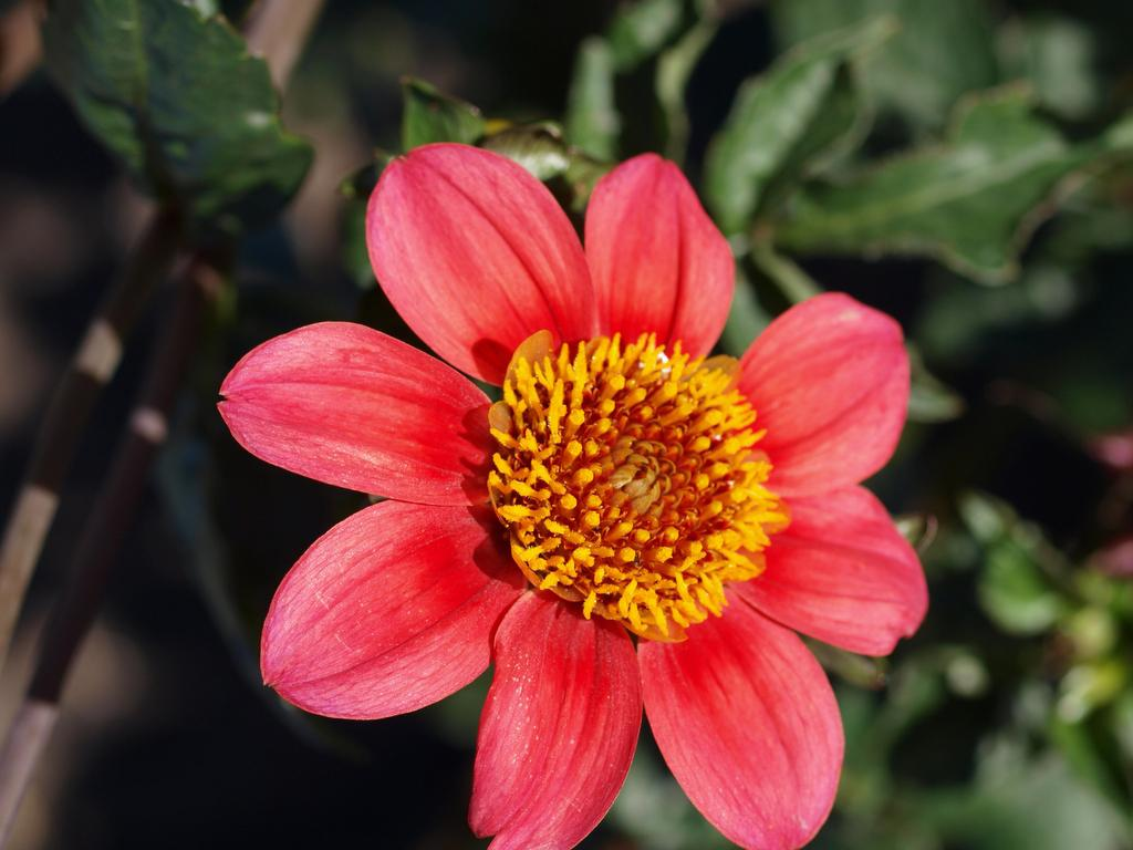 Photo of Dahlia 'Hilltop Zoe' uploaded by frankrichards16