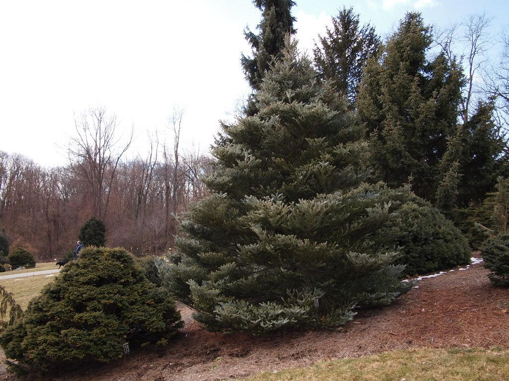 Photo of Korean Fir (Abies koreana 'Horstmann's Silberlocke') uploaded by frankrichards16
