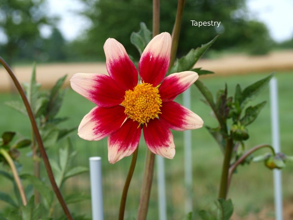 Photo of Dahlia 'Tapestry' uploaded by frankrichards16
