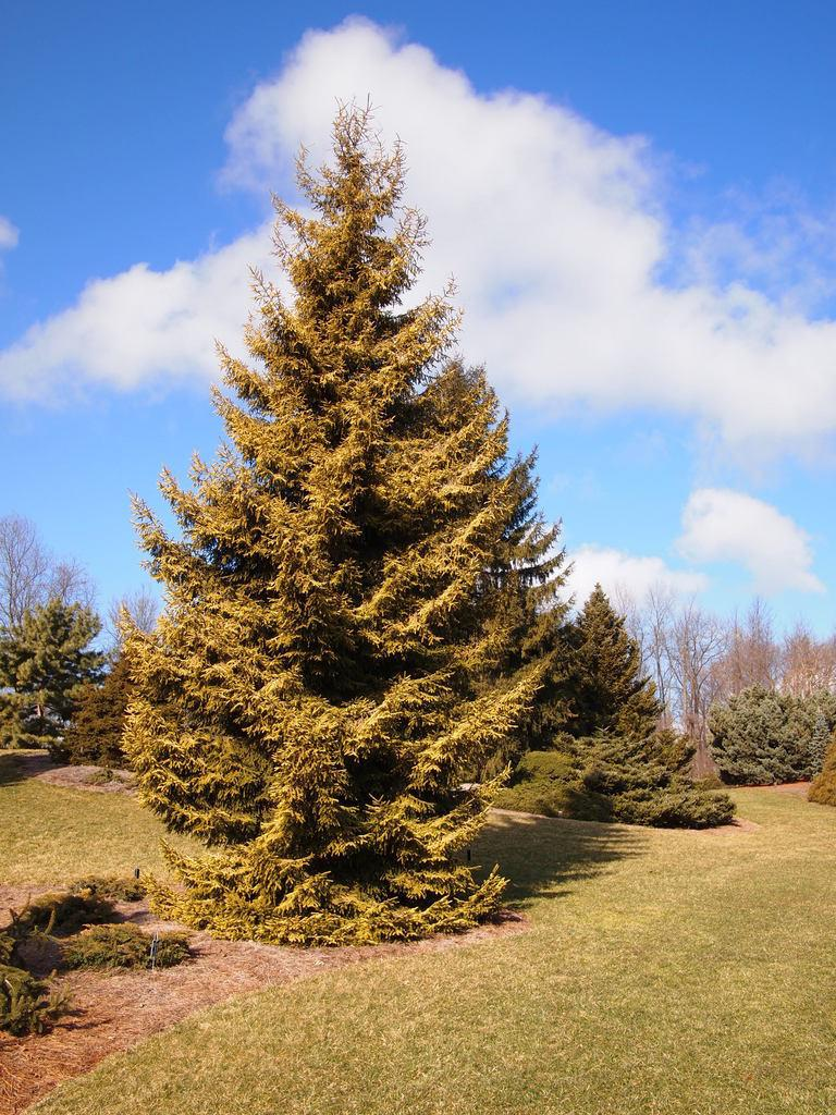 Photo of Oriental Spruce (Picea orientalis 'Skylands') uploaded by frankrichards16