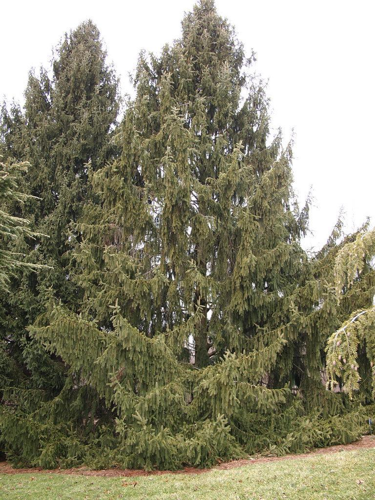 Photo of Golden Norway Spruce (Picea abies 'Aurea') uploaded by frankrichards16