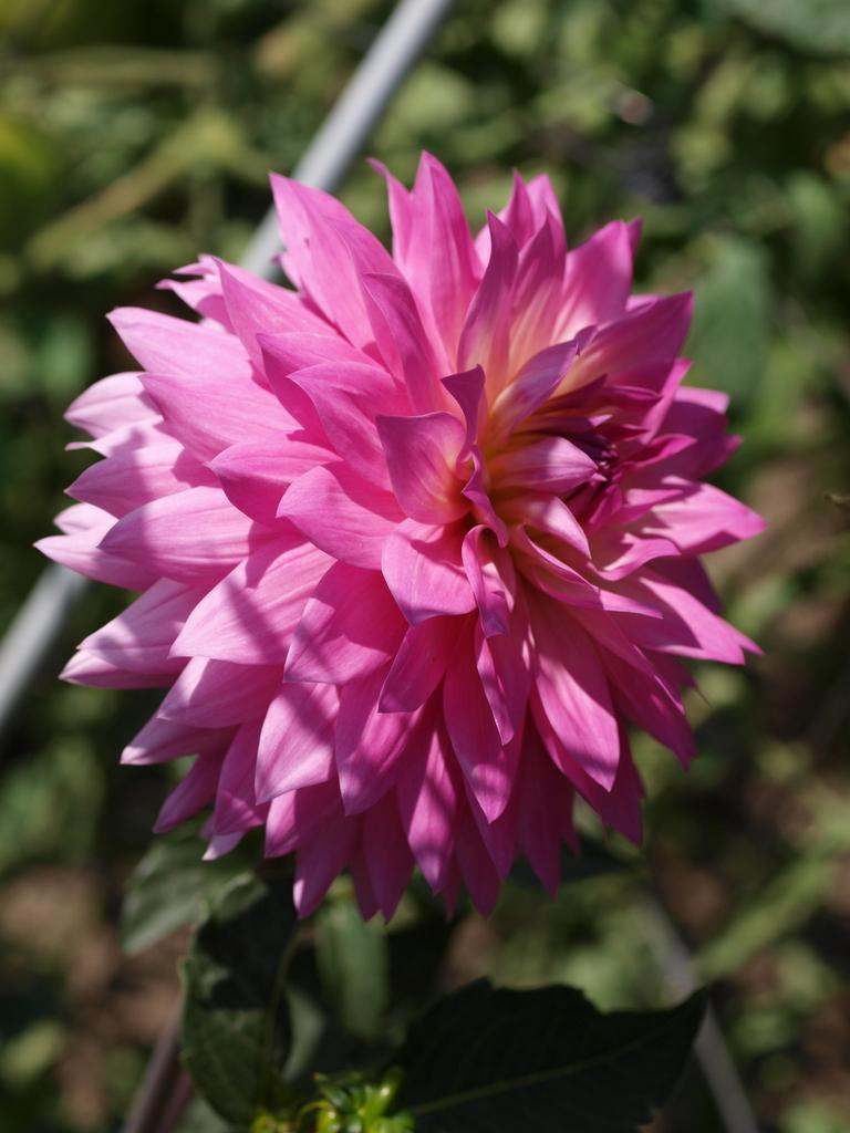 Photo of Waterlily Dahlia (Dahlia 'Miss Delilah') uploaded by frankrichards16