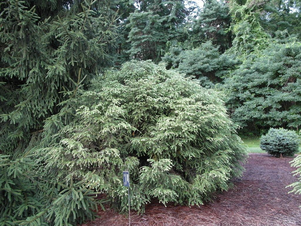 Photo of Chinese Hemlock (Tsuga chinensis var. robusta) uploaded by frankrichards16