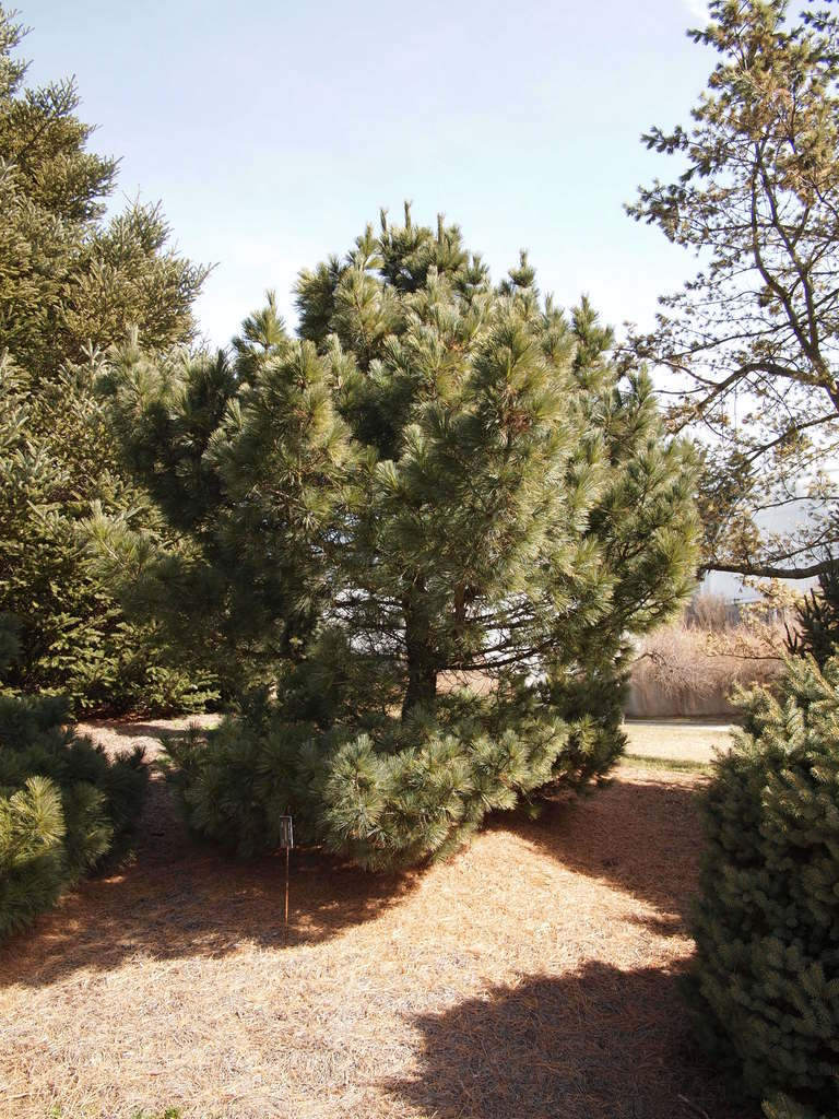 Photo of Eastern White Pine (Pinus strobus 'Compacta') uploaded by frankrichards16