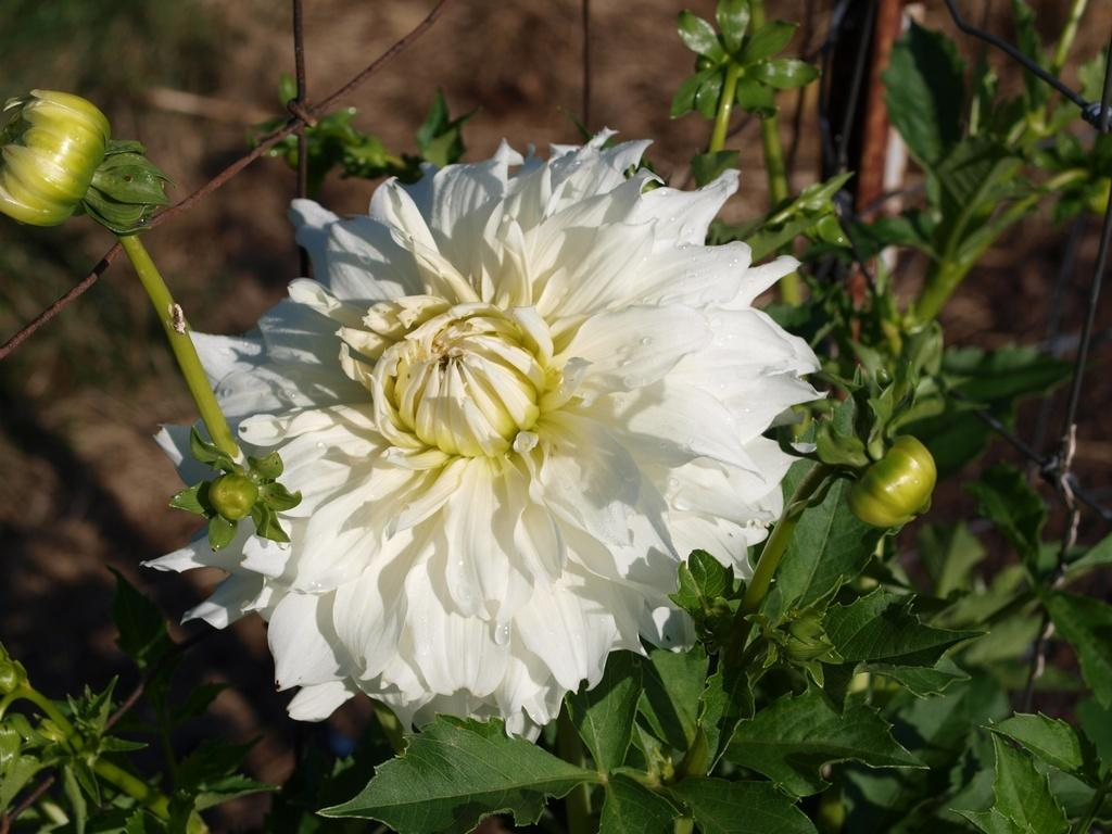 Photo of Dahlia 'Walter Hardisty' uploaded by frankrichards16