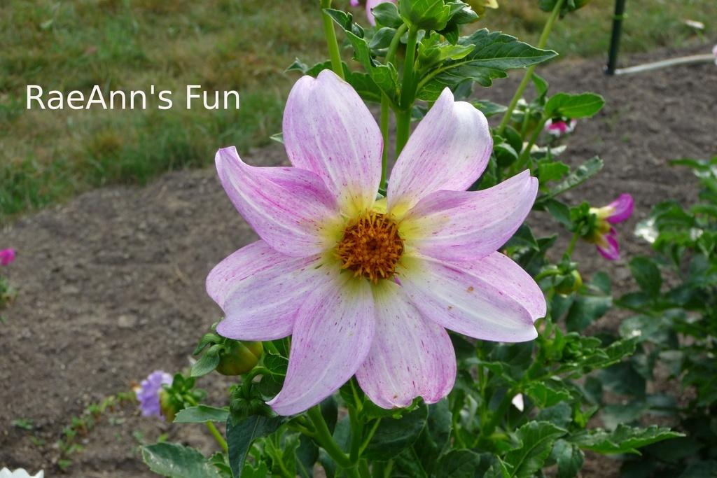Photo of Dahlia 'Raeann's Fun' uploaded by frankrichards16