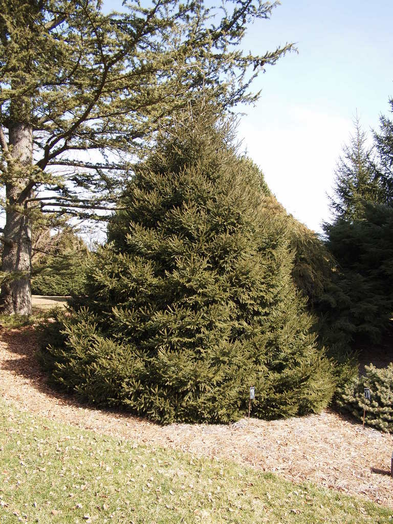 Photo of Spruce (Picea orientalis 'Connecticut Turnpike') uploaded by frankrichards16