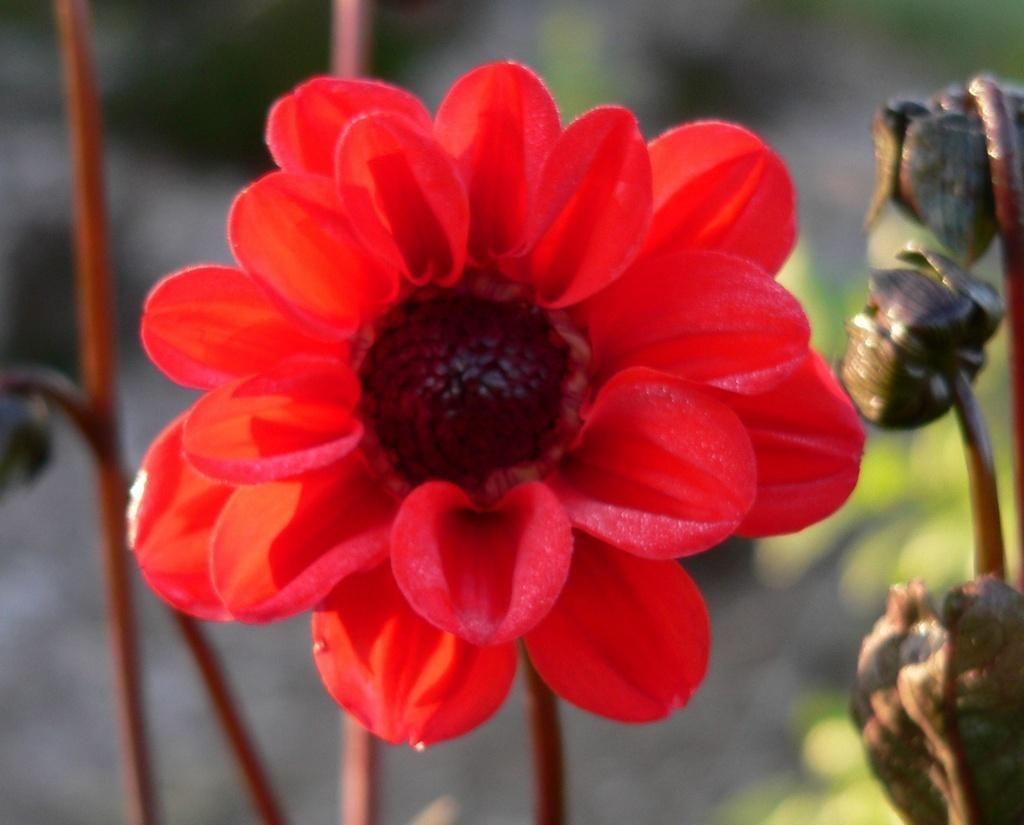 Photo of Dahlia 'Japanese Bishop' uploaded by frankrichards16