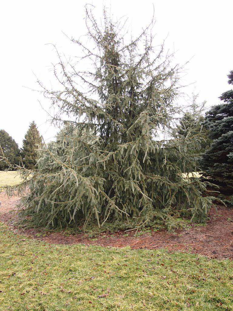 Photo of Spruce (Picea glauca 'Fort Ann') uploaded by frankrichards16