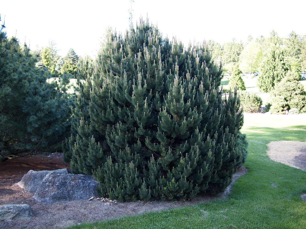 Photo of Mugo Pine (Pinus mugo 'Rock Island Compact') uploaded by frankrichards16