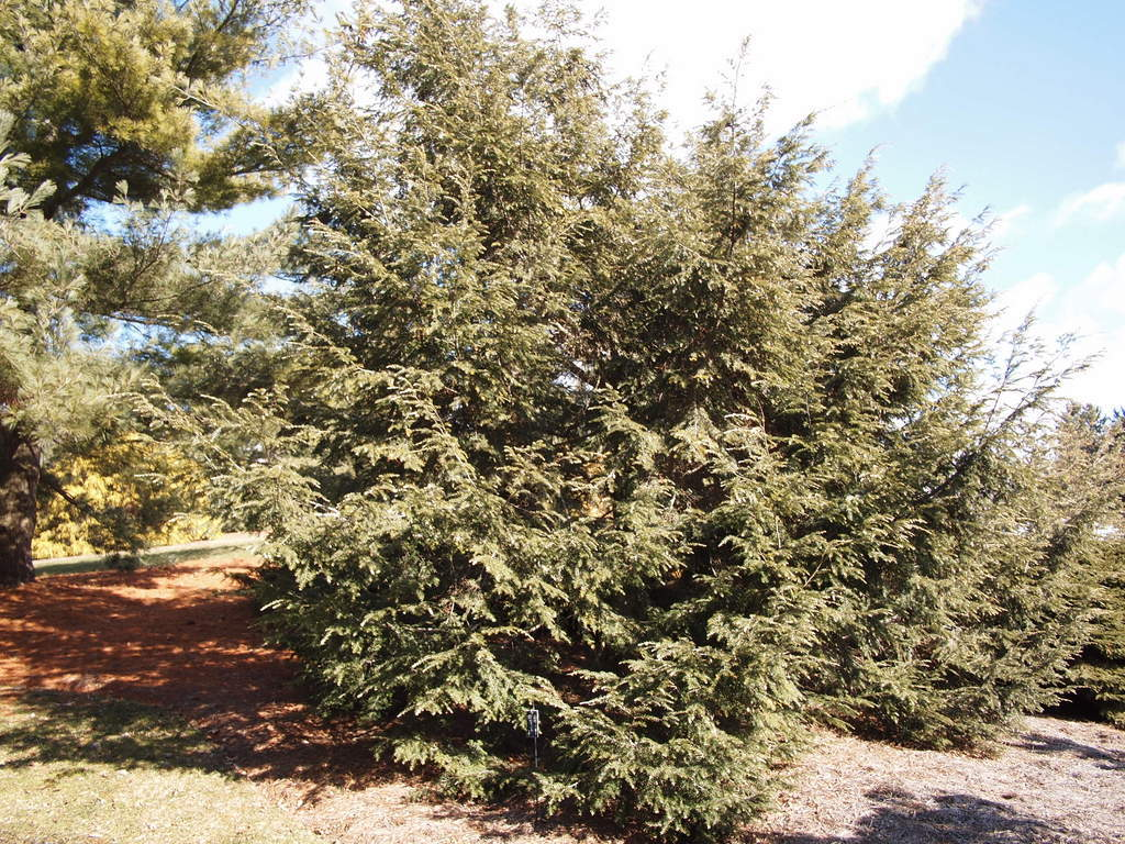 Photo of Tsuga canadensis 'LaBar White Tip' uploaded by frankrichards16