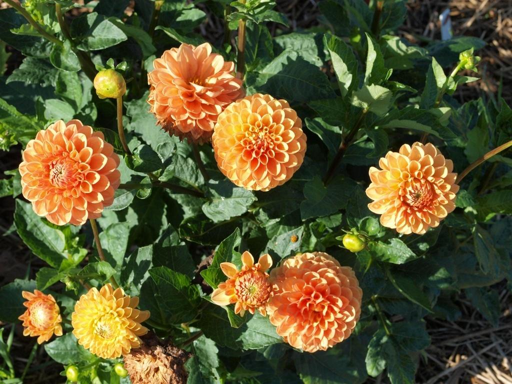 Photo of Formal Decorative Dahlia (Dahlia 'Maarn') uploaded by frankrichards16