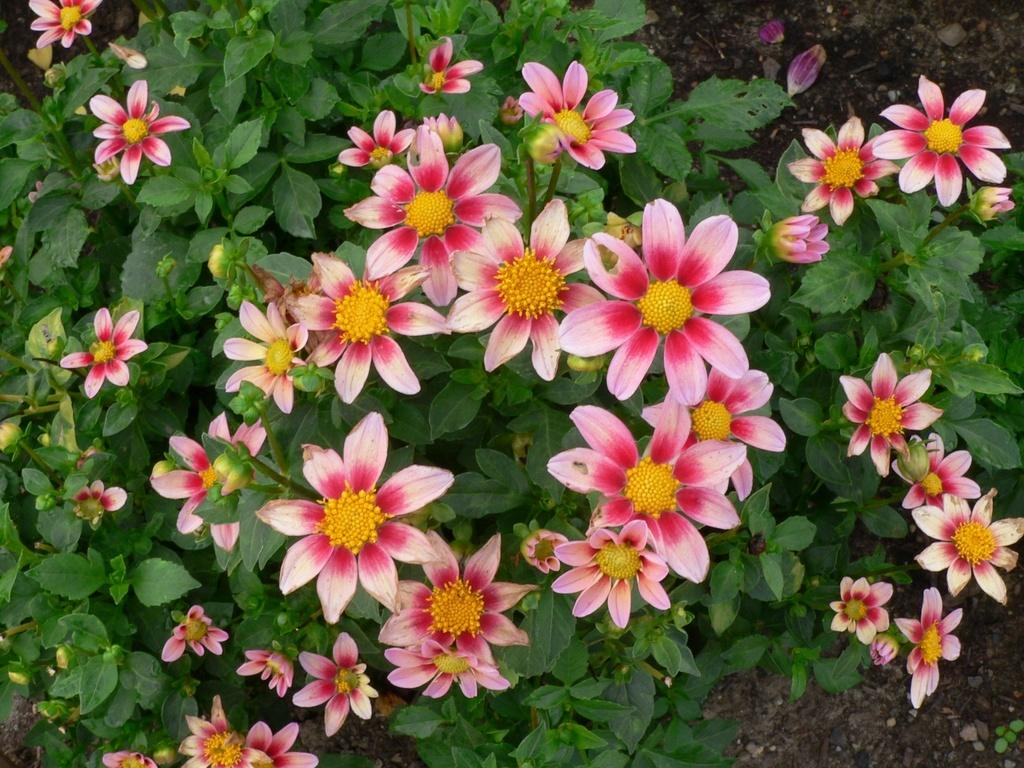 Photo of Dahlia 'Daisy' uploaded by frankrichards16