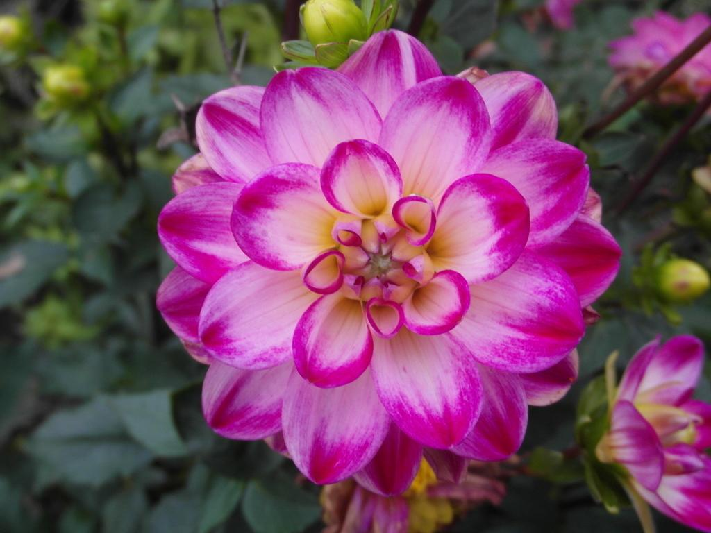 Photo of Waterlily Dahlia (Dahlia 'Binky') uploaded by frankrichards16